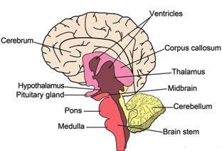 brain parts in hindi