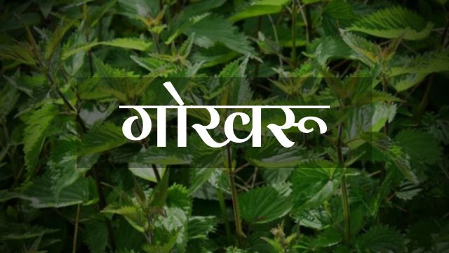 Gokhru in Hindi