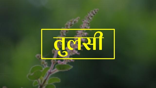tulsi in hindi
